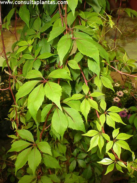 Parthenocissus inserta o falsa enredadera de virginia cuidados - Plantas enredaderas de crecimiento rapido ...