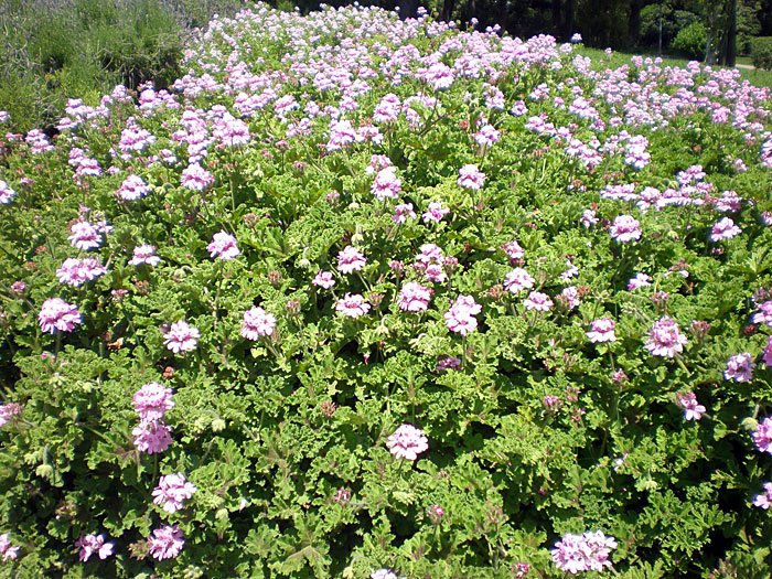 Pelargonium o geranio cuidados for Malvarrosa planta