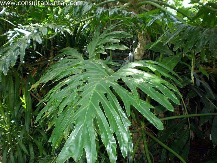 Philodendron selloum o filodendro paraguayo cuidados for Planta filodendro