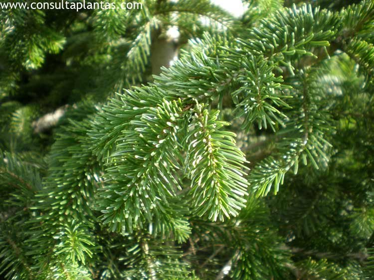 Picea abies falso abeto o rbol de navidad cuidados - Arbol de navidad abeto ...