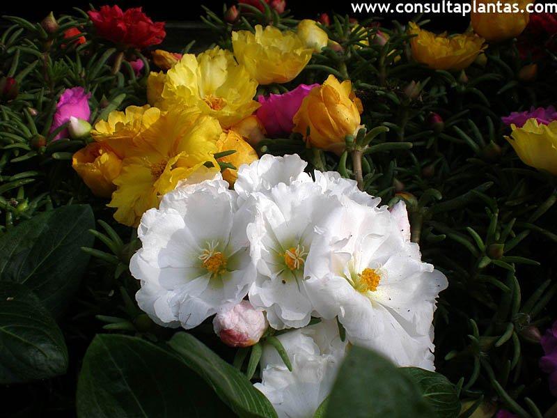 Portulaca Verdolaga O Flor De Seda Cuidados