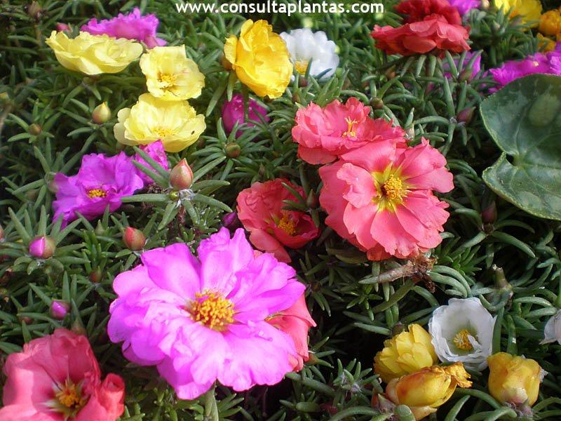 Portulaca verdolaga o flor de seda cuidados for Plantas para veredas con flores