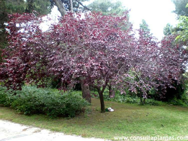 cuando podar cerezos y ciruelos cheap prunus cerasifera ForCuando Podar Cerezos Y Ciruelos