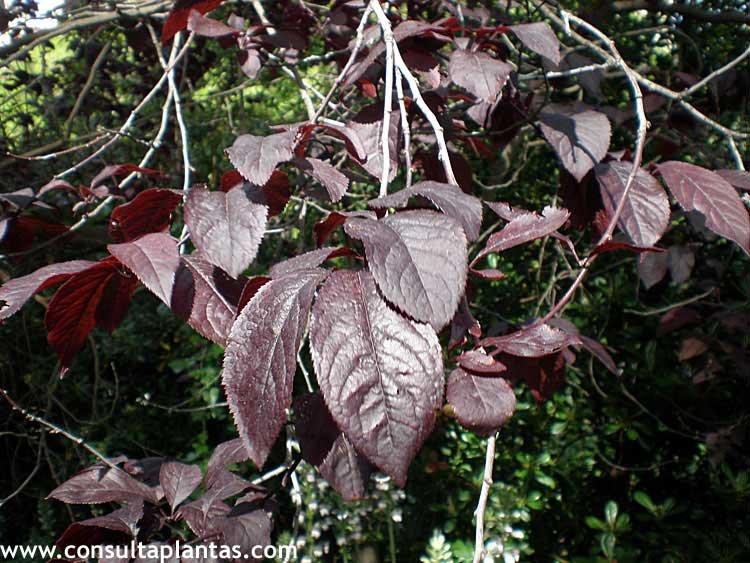 Prunus cerasifera pisardii o ciruelo rojo cuidados for Arbol ciruelo de jardin