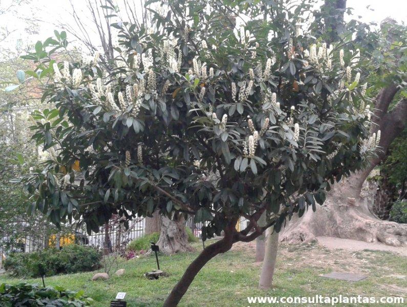 Poda laurel laurus nobilis bonsai laurel poda laurel - Poda del laurel ...