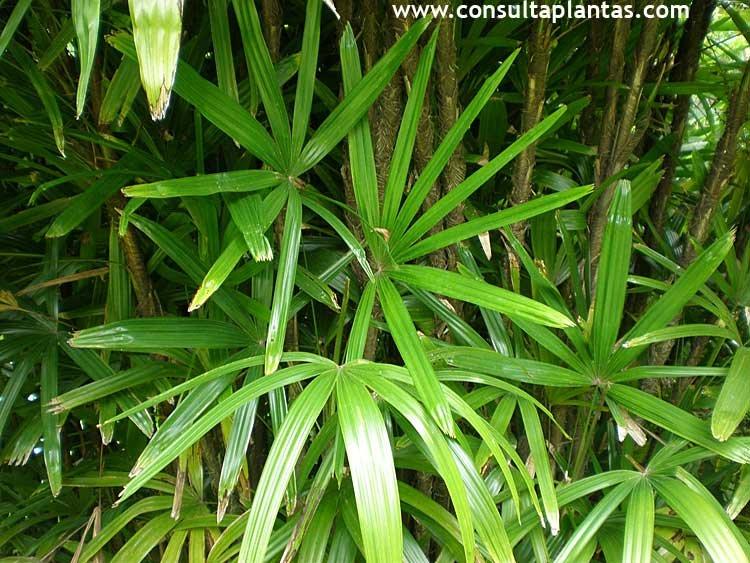 Bambu planta exterior bambu aurea with bambu planta - Bambu planta exterior ...