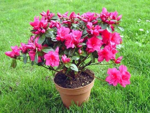 Rhododendron indicum o azalea cuidados - Cuidado de azaleas en interior ...