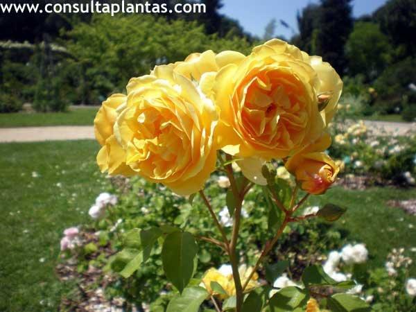 Rosa o rosal cuidados for Pianta rosa