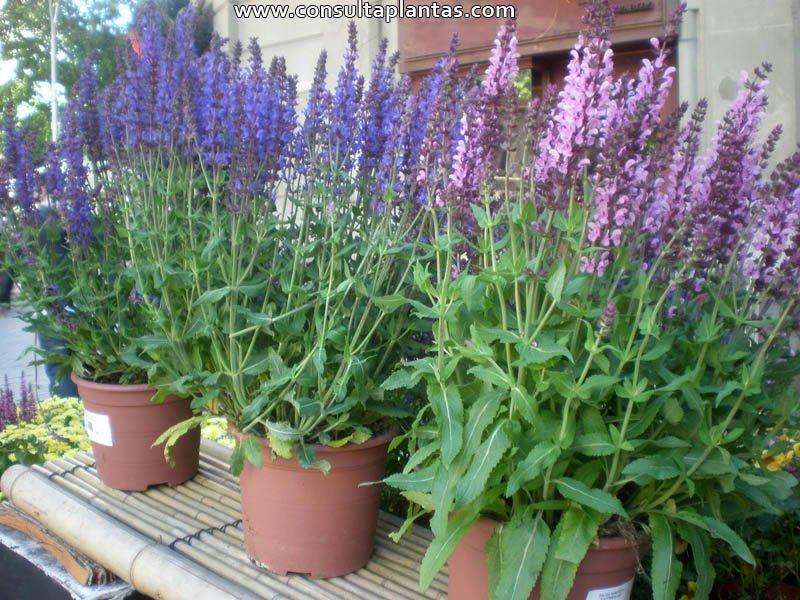 Salvia nemorosa o salvia de bosque cuidados for La salvia en la cocina