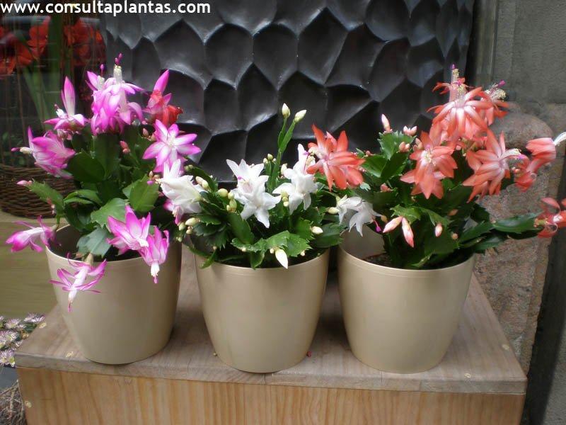 Schlumbergera truncata o cactus de navidad cuidados - Cuidados planta navidad ...