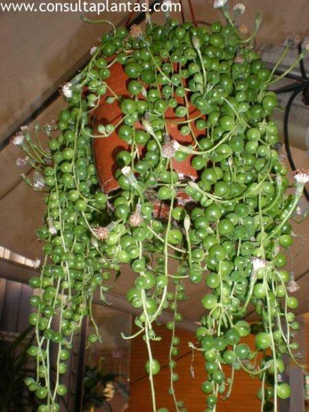 senecio rowleyanus o planta rosario