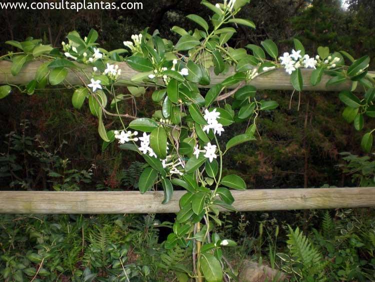 stephanotis floribunda o jazmín de madagascar | cuidados