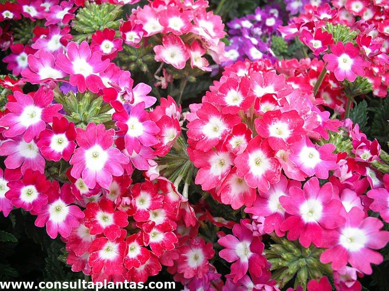 Verbena hybrida o verbena hortensis cuidados - Planta verbena cuidados ...
