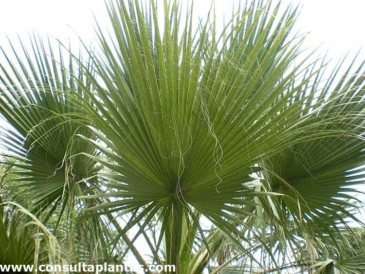 Washingtonia filifera o palmera de california cuidados for Plantas de interior tipo palmera