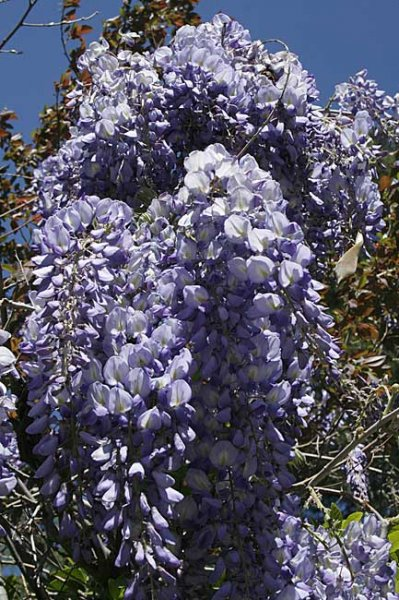 Wisteria o glicina cuidados for Glicina planta