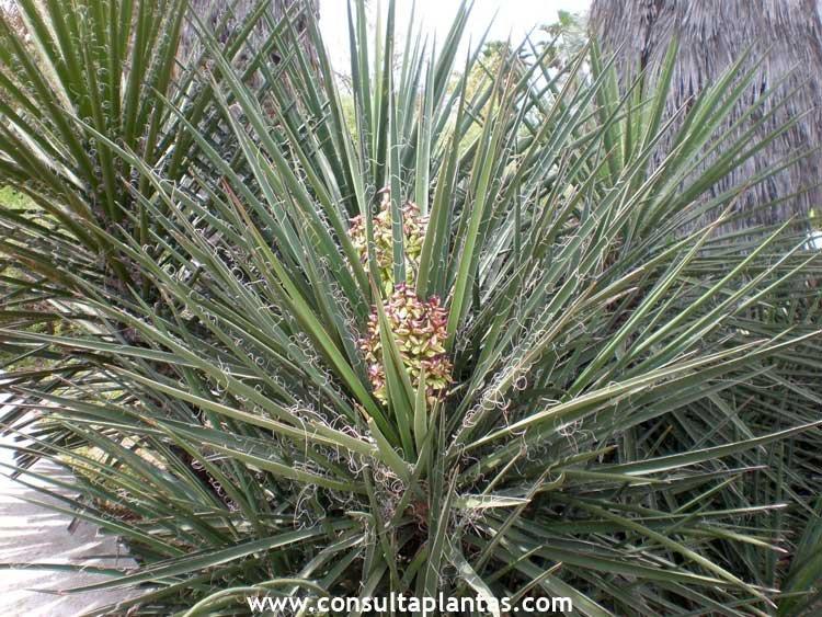 Hebe speciosa hebe o ver nica cuidados - Yucca elephantipes cuidados ...