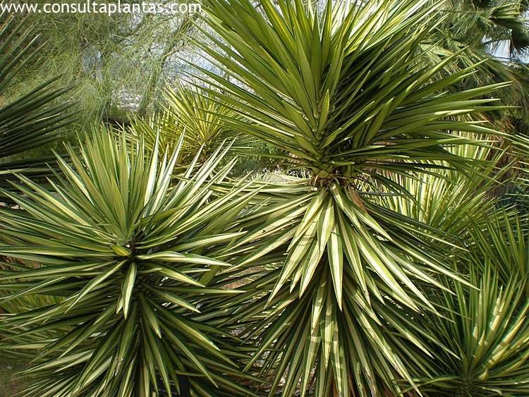 Yucca aloifolia o yuca pinchuda cuidados for Yuca planta de exterior