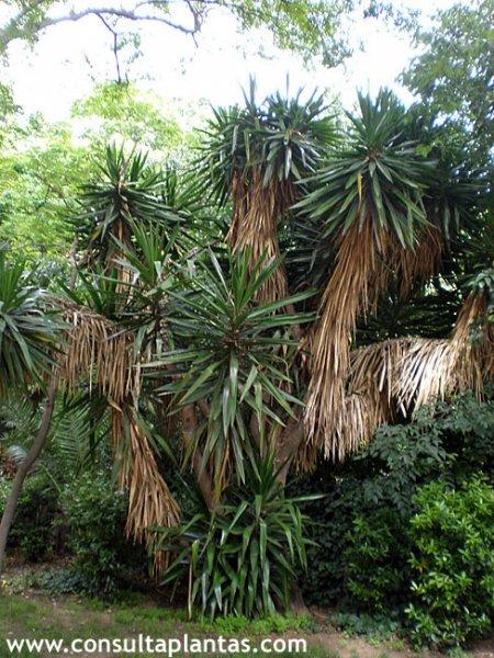 Yucca elephantipes o yuca de interior cuidados for Planta yuca exterior