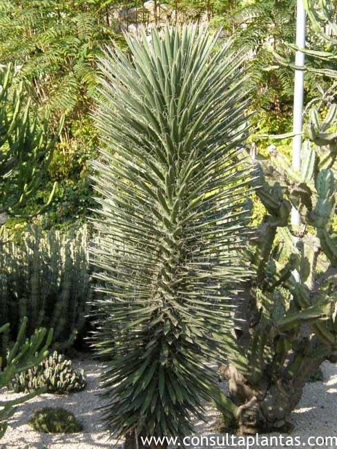 Yucca filifera o izote cuidados - Yucca elephantipes cuidados ...