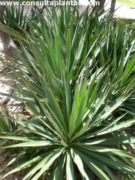 Yucca gloriosa o yuca brillante cuidados for Yuca planta de exterior