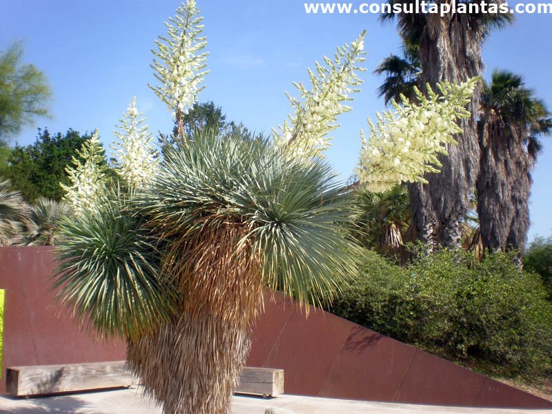Yucca rostrata o amole cuidados - Yucca elephantipes cuidados ...