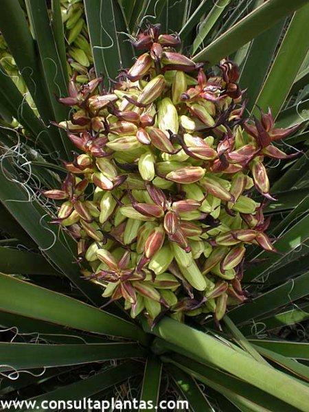 Yucca schidigera o yuca de mojave cuidados - Yucca elephantipes cuidados ...