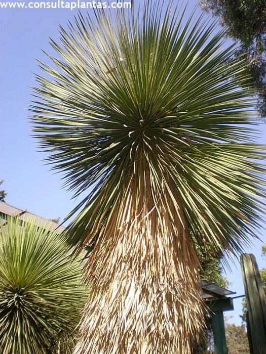 Yucca thompsoniana o palmilla cuidados - Yucca elephantipes cuidados ...